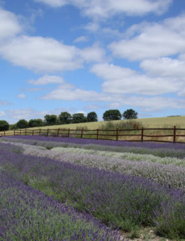 Lavender at Hitchin Lavender Farm